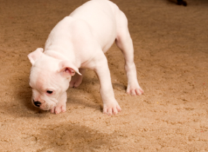 tips-of-removing-pet-urine-from-carpet